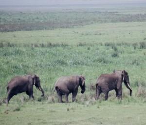 éléphants