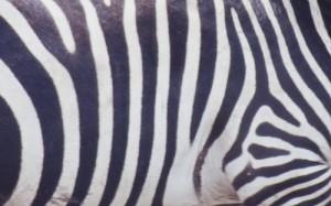 Jumbo zebre